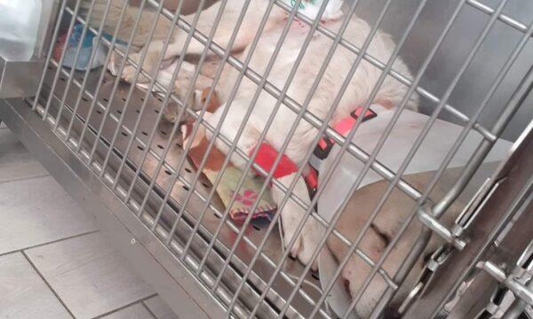 Simeri Crichi, Fuori pericolo il cane fucilato in paese. L'appello delle volontarie per aiutarlo